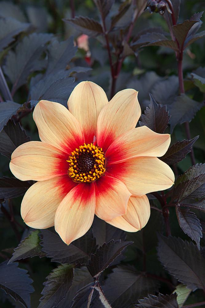 Dahlia Happy Single Date
