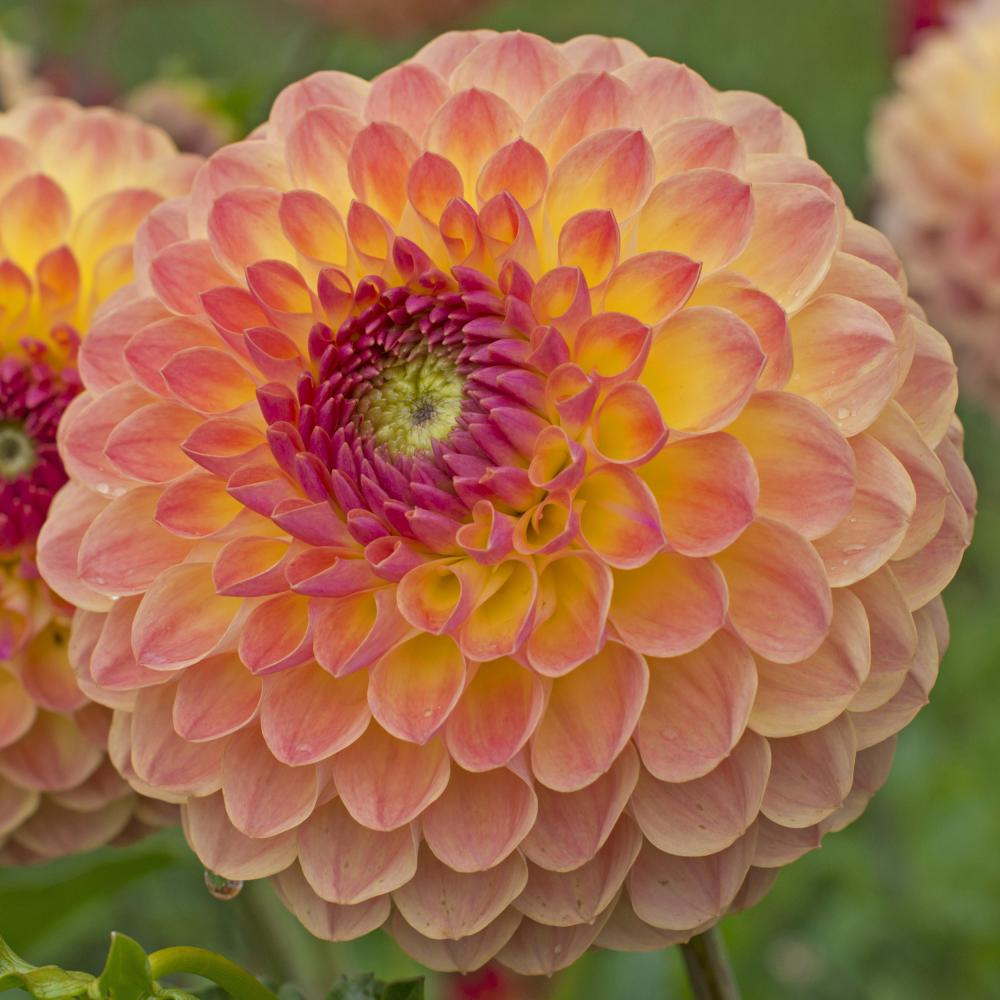 Dahlia Lakeland Autumn