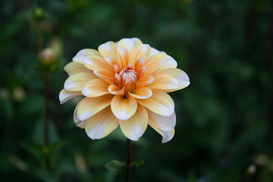 Dahlia Orange Perception