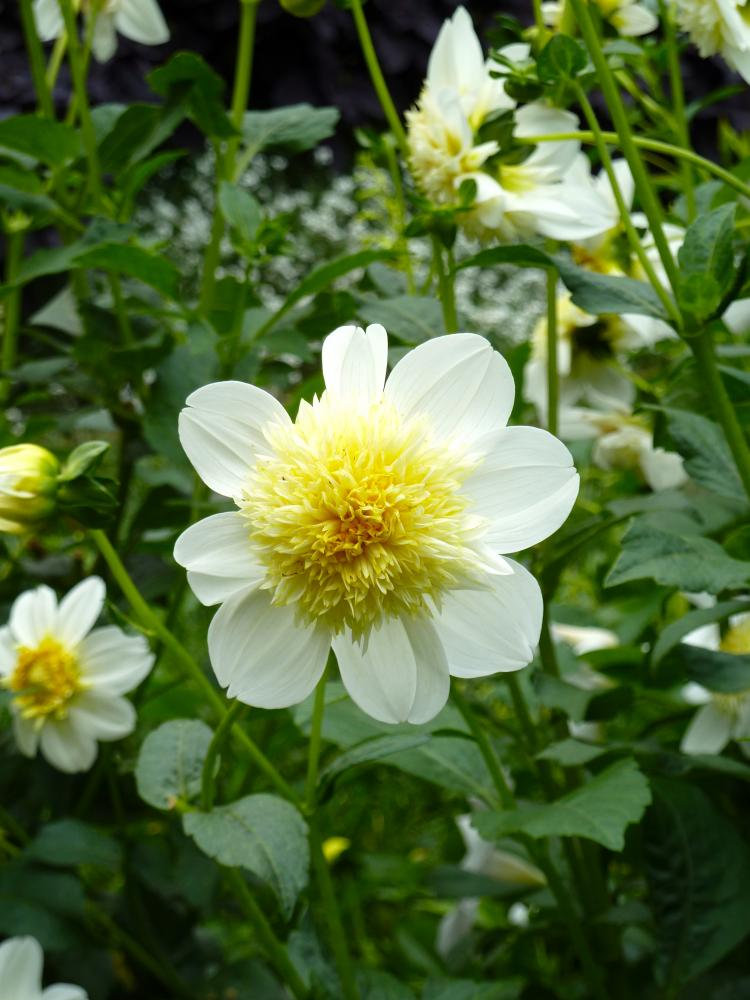 Dahlia Platinum Blonde