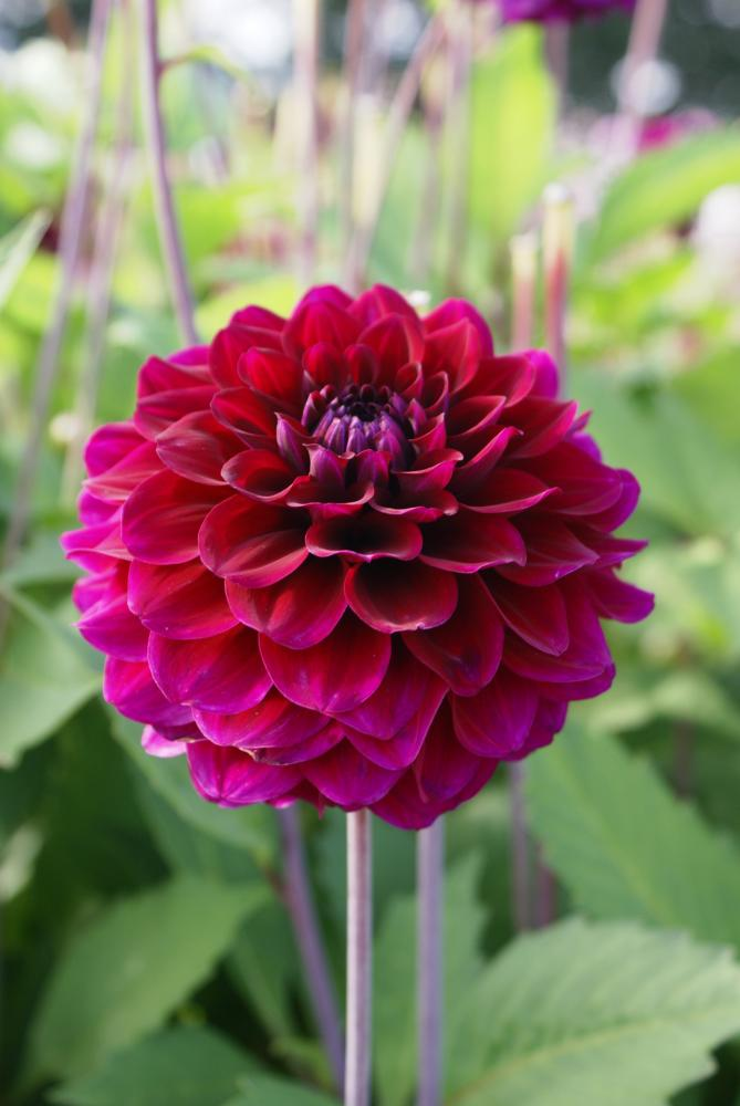 Dahlia Purple Cap