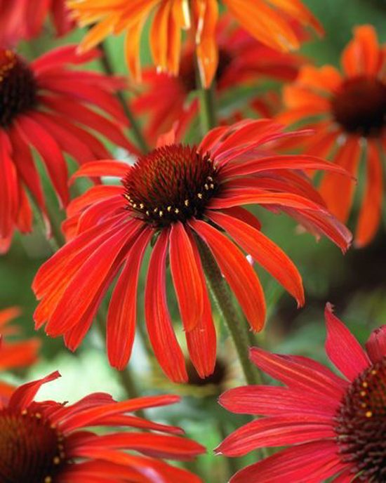 Echinacea hybrida Hot Summer