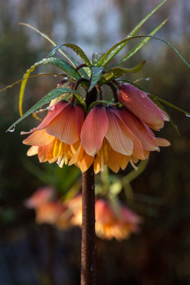 Fritillaria imperialis Early Dream  Ekologisk