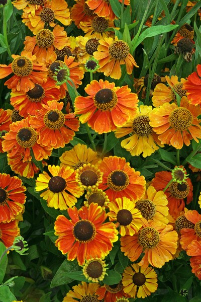 Helenium hybrida Sahins Early Flower