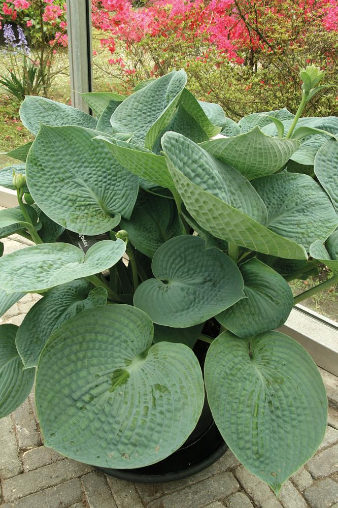 Hosta hybrida Big Daddy