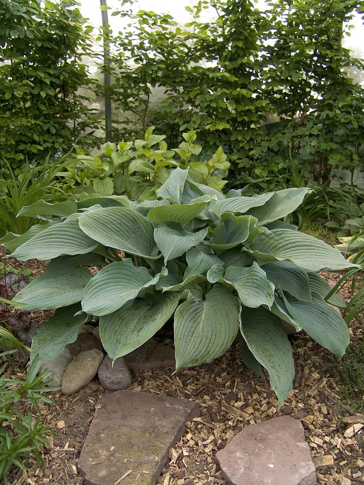 Hosta hybrida Blue Angel