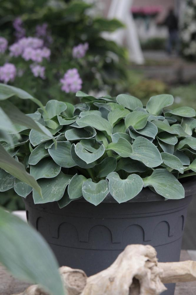 Hosta hybrida Blue Mouse Ears