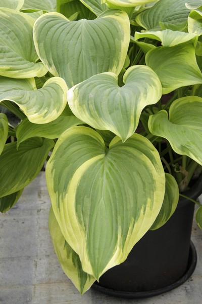 Hosta hybrida Fragrant Bouquet