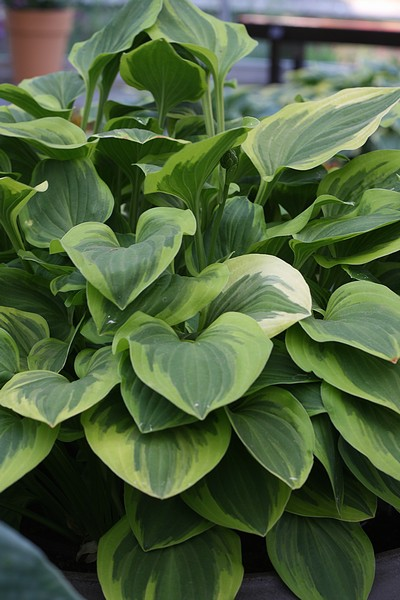 Hosta hybrida Golden Tiara
