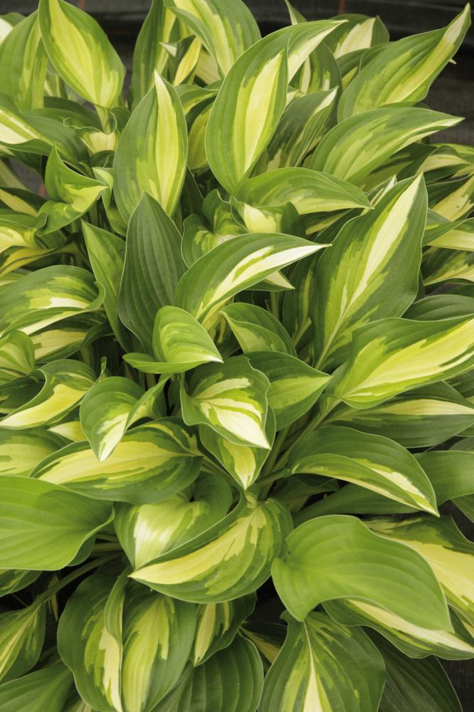 Hosta hybrida Lakeside Little Tuft