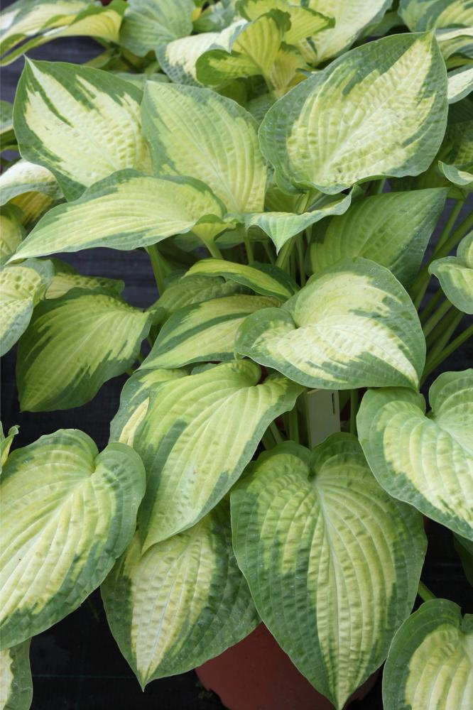 Hosta hybrida Paul's Glory