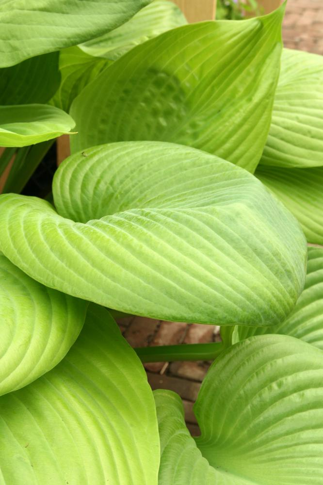Hosta hybrida Sum and Substance