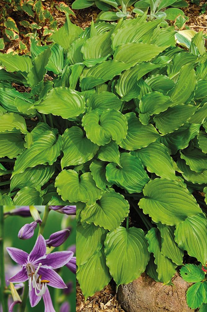 Hosta hybrida Purple Sensation  NYHET!!!!