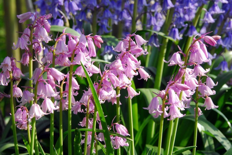 Hyacinthoides hispanica Rose Queen   NYHET!!!!