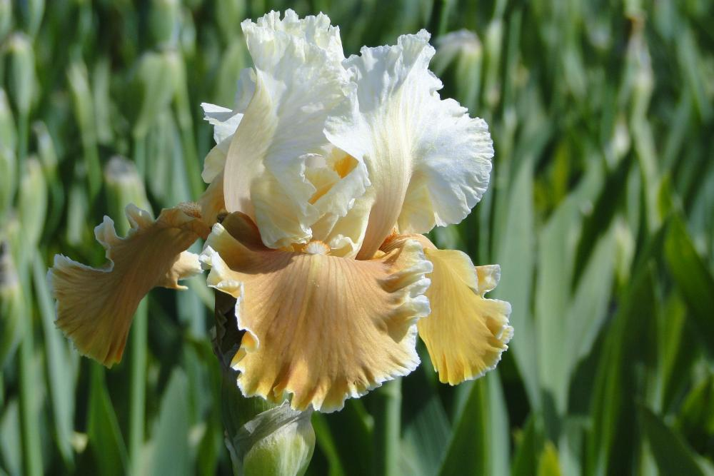 Iris germanica English Charm (Trädgårdsiris)