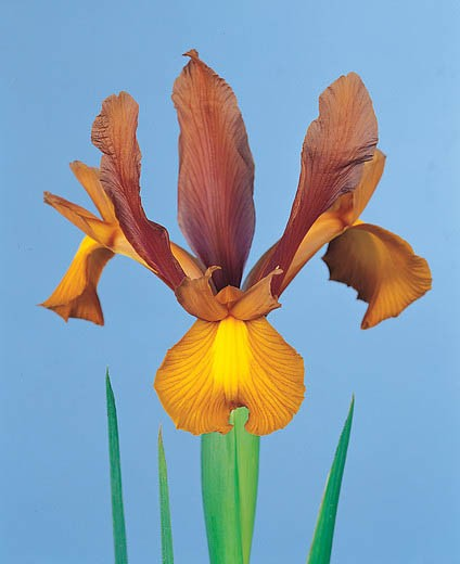 Iris Hollandica Autumn Princess