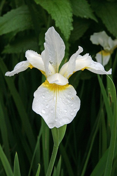 Iris sibirica Snow Queen (Strandiris)