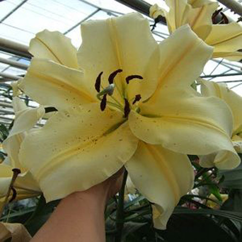 Lilium Big Brother