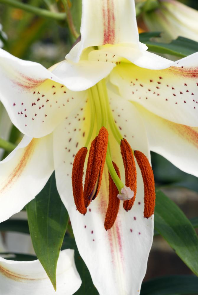 Lilium Garden Party