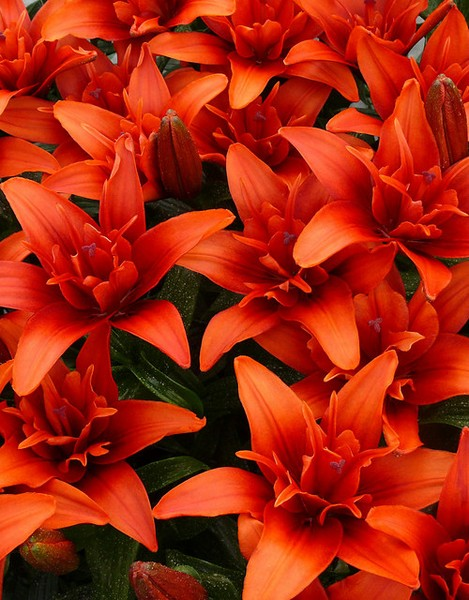 Lilium Red Twin