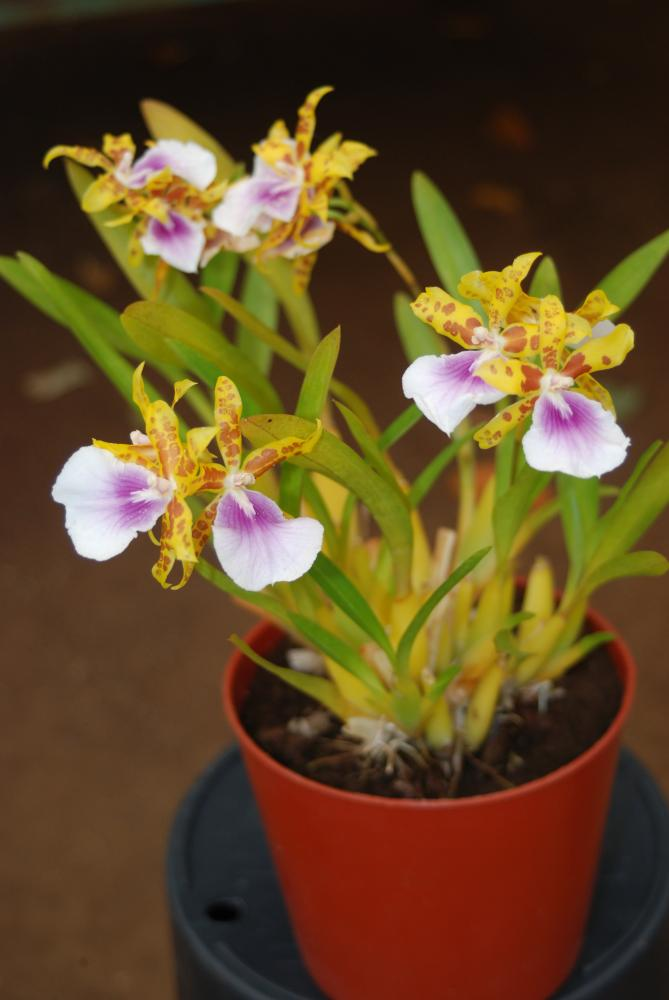 Miltonia Goodale Moir 'Golden Wonder'