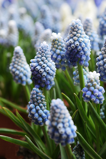 Muscari aucheri Ocean Magic  (Persisk pärlhyacint)