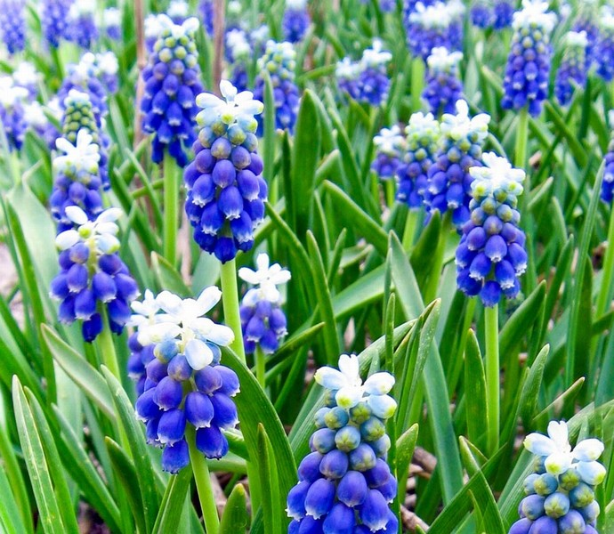 Muscari armeniacum Touch of Snow (Armenisk pärlhyacint)