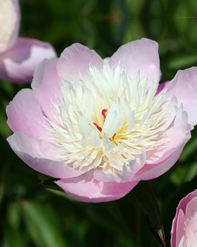 Pion (Paeonia) Bowl of Beauty