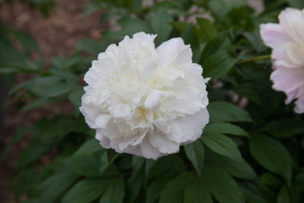 Pion (Paeonia) Shirley Temple  NYHET!!!!