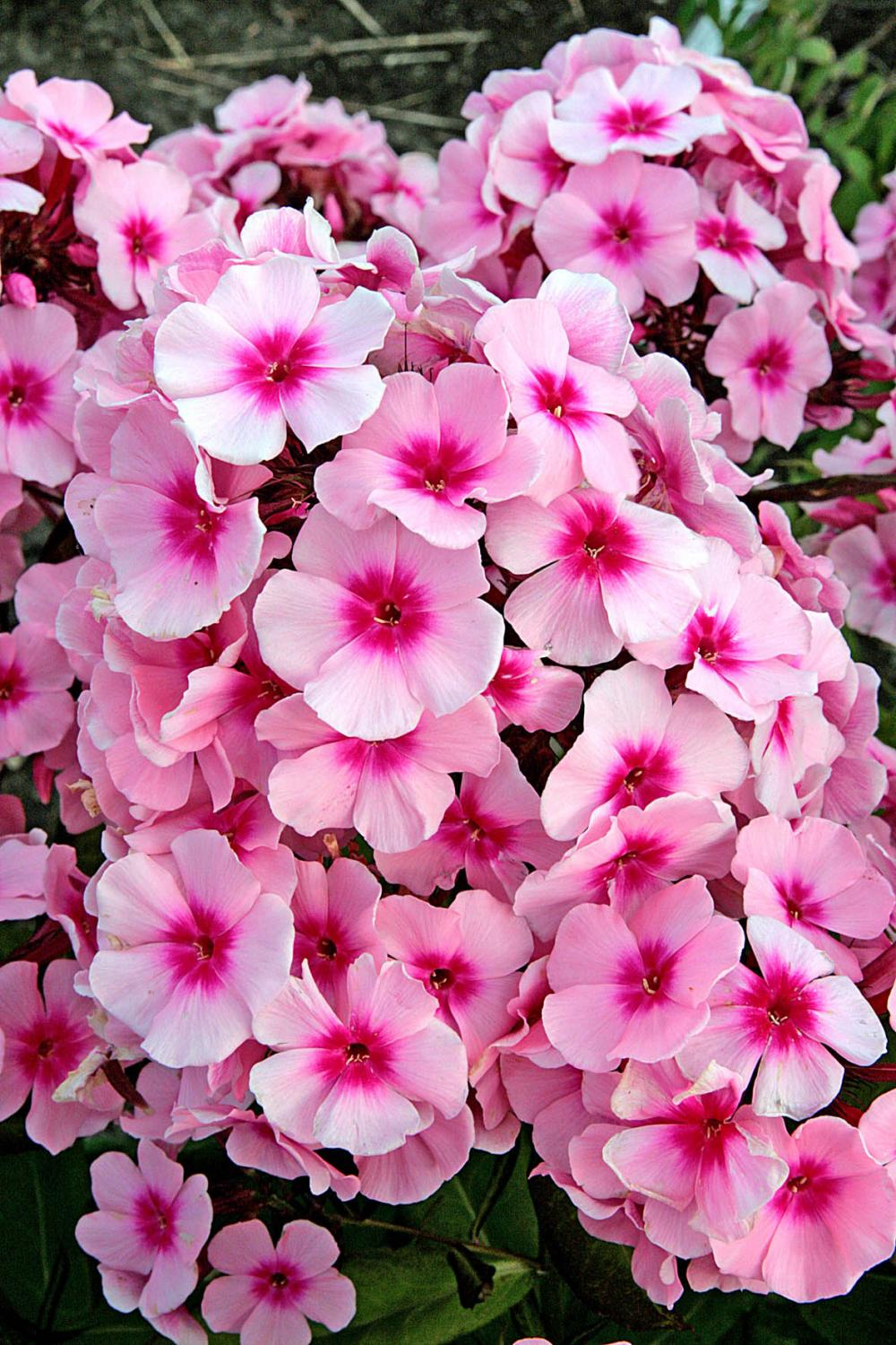 Phlox paniculata Bright Eyes (Flox)