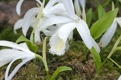 Pleione formosana Snow White