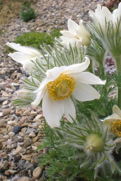 Pulsatilla vulgaris Alba (Backsippa)