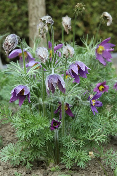 Pulsatilla vulgaris (Backsippa)
