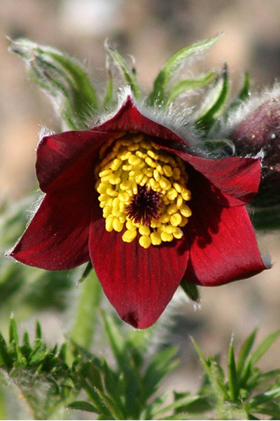 Pulsatilla vulgaris Rubra (Backsippa)