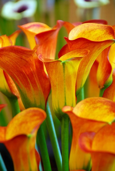 Zantedeschia Captain Safari