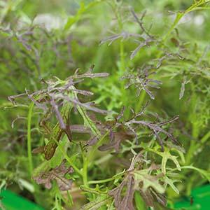Bladsarepta Micro leaf i 5 eller 10-pack
