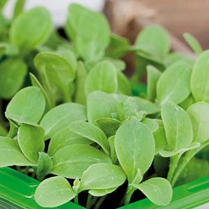 Gurkört Micro leaf 5 eller 10-pack