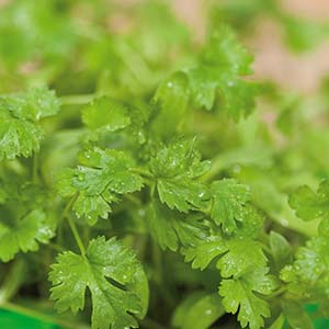Koriander Micro leaf 5 eller 10-pack