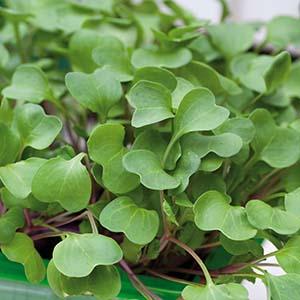 Bladrädisa Micro leaf 5 eller 10-pack