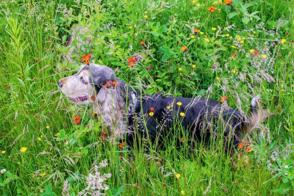Brun svart cocker spaniel hunde omgiven av högt gräs och blommor