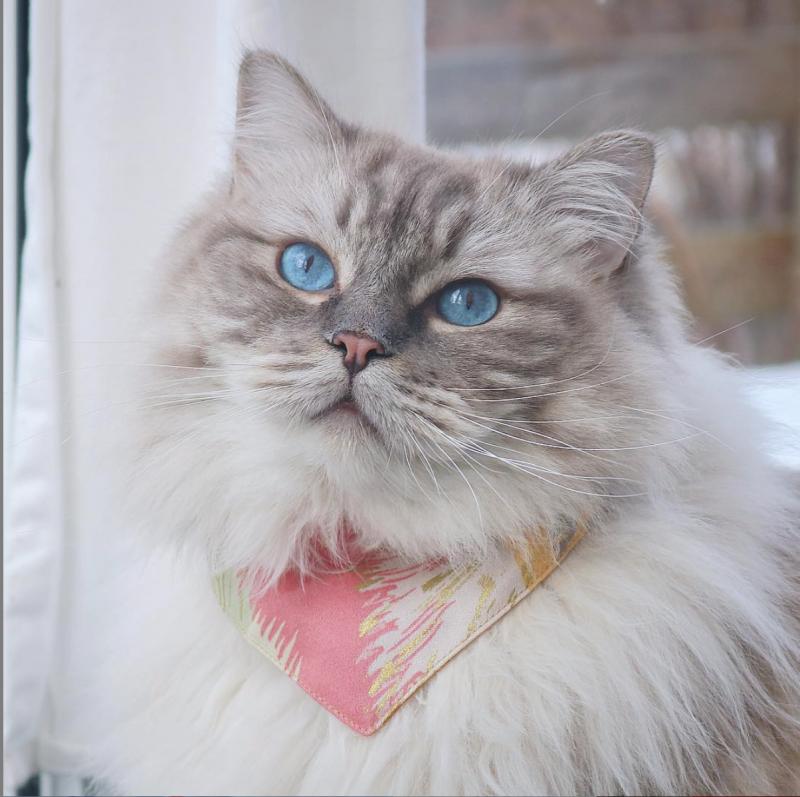 Långhårig vit katt med blå ögon. Klädd i färgglad scarfs i rosa och gul.