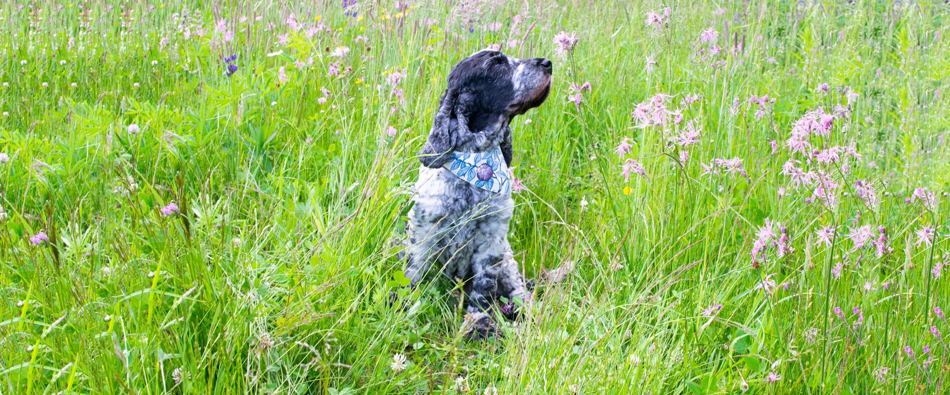 Gråspräcklig hund som blundar njutandes omgiven av högt gräs och lila blommor på äng.