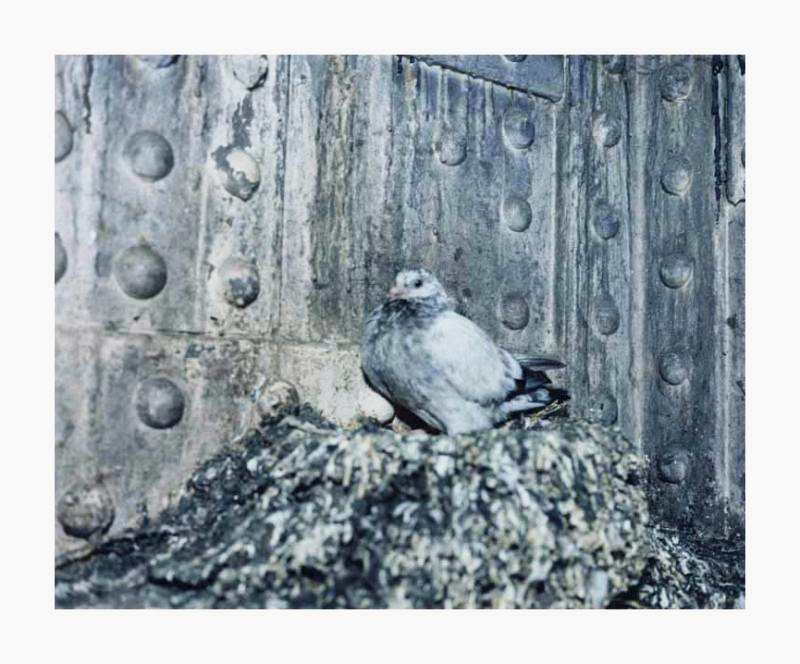 Pigeons - Print Edition