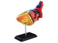 Anatomisk modell Hjärta 14 cm