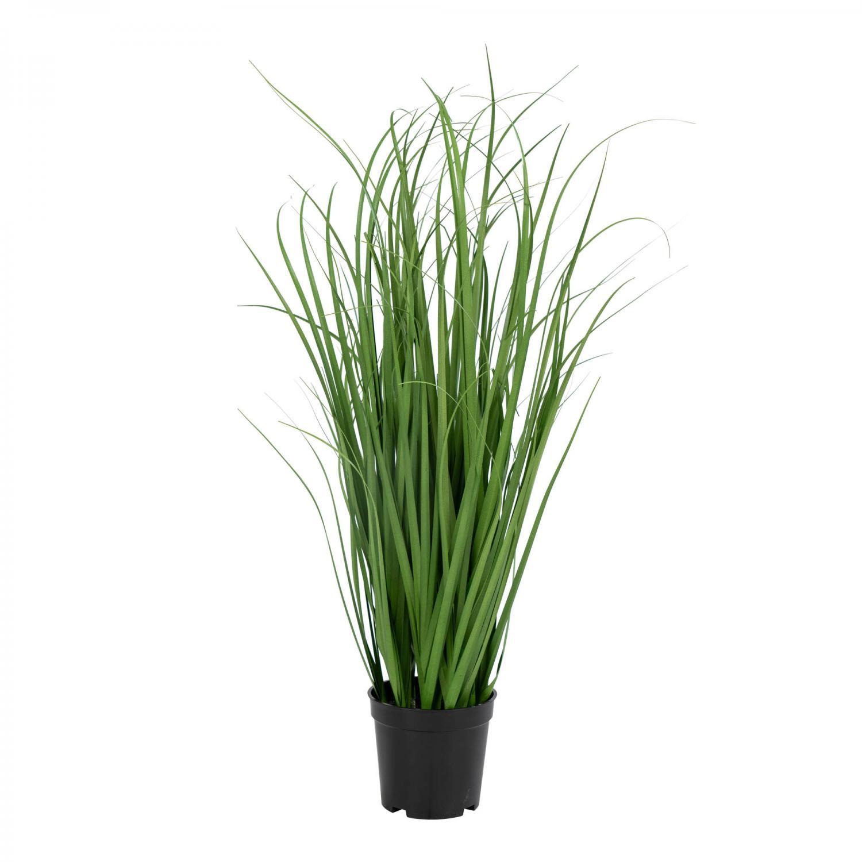 Poa Grass