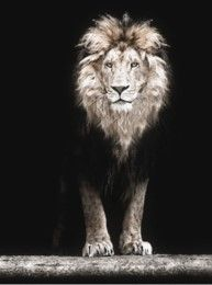 Poster 50*70 Black Lion