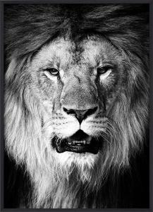 Poster 30x40 Lion