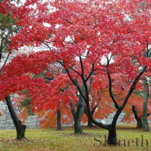 Rysk lönn, Flame Amur Maple (Acer tataricum ginnala Flame)