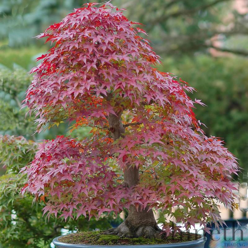 Rödlövad lönn (Acer palmatum atropurpureum)