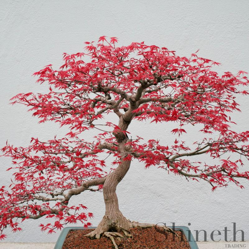 Röd lönn (Acer Rubrum)